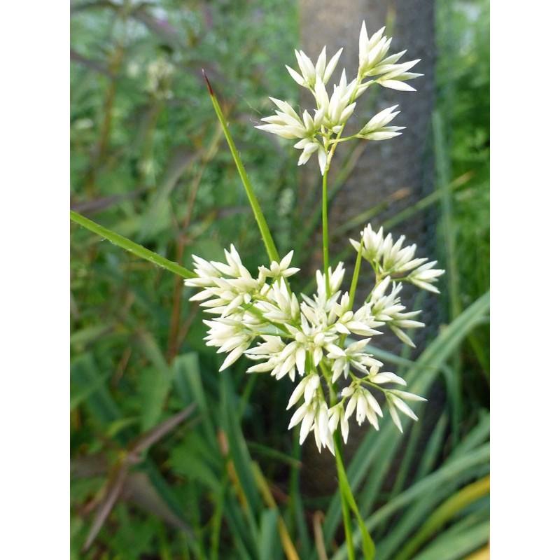 Luzula nivea, Gräser im Yuccashop kaufen -
