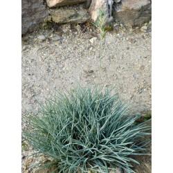 Festuca punctoria, Gräser im Yuccashop kaufen -