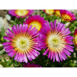 Delosperma ''Wonderful Hot'' Delosperma winterhart kaufen Yuccashop Pflanze