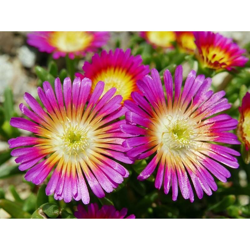 Delosperma ''Wonderful Hot'', Mittagsblumen vom Yuccashop -