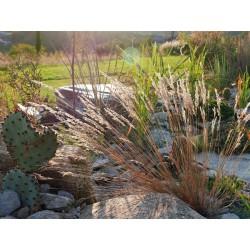 Corynephorus canescens, Gräser im Yuccashop kaufen -