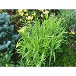 Chasmanthium latifolium, Gräser im Yuccashop kaufen -