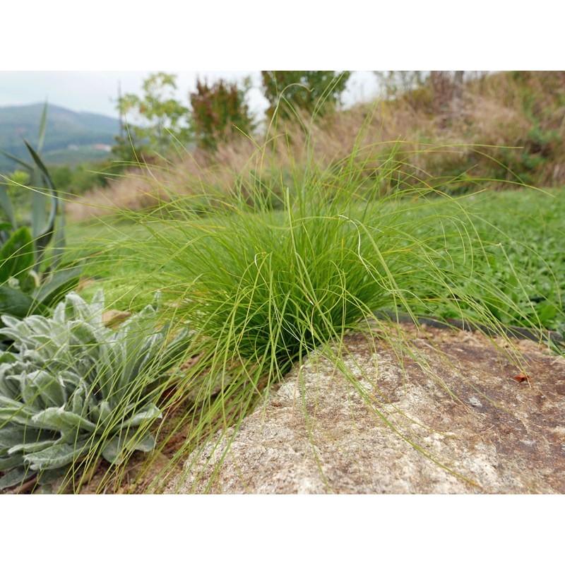 Carex appalachica, Gräser im Yuccashop kaufen -