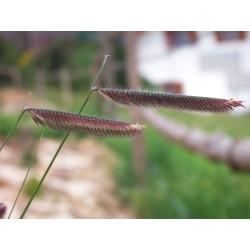 Bouteloua gracilis, Gräser im Yuccashop kaufen -
