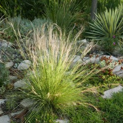 Aristida purpurea var. fendleriana, Gräser vom Yuccashop -