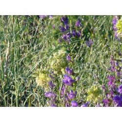 Achnatherum hymenoides, Gräser im Yuccashop kaufen -