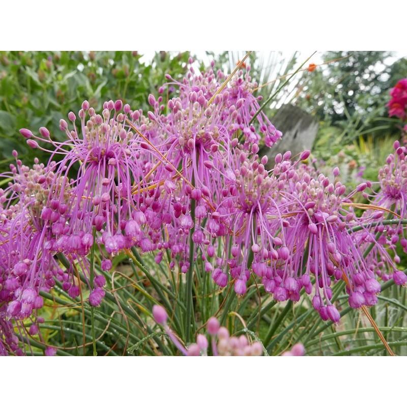 Allium huber-morathii, Lauch im Yuccashop kaufen -