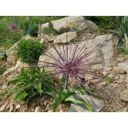 Allium schubertii, Lauch im Yuccashop kaufen -