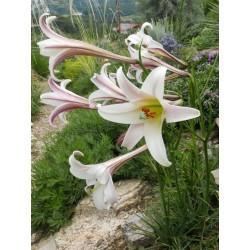 Lilium formosanum var. pricei, Lilien im Yuccashop kaufen -