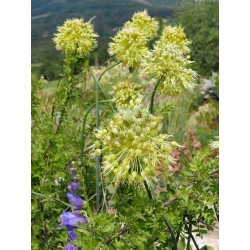 Allium obliquum, Lauch im Yuccashop kaufen -