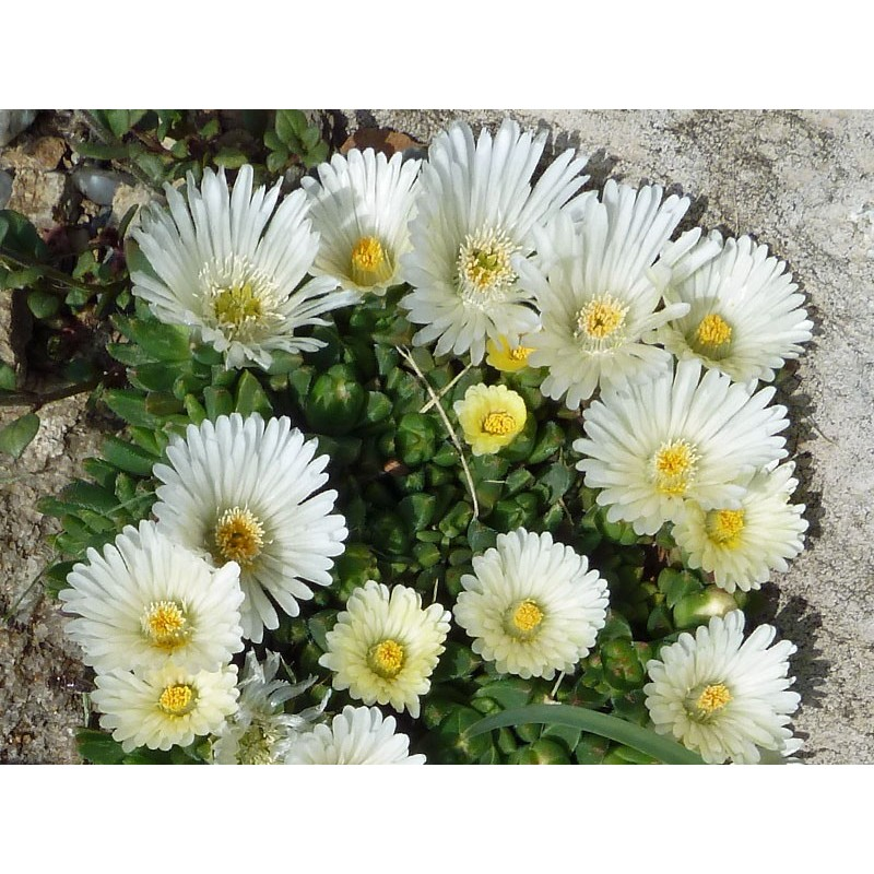Delosperma 'White Nugget', Häufchen-Mittagsblumen vom Yuccashop -
