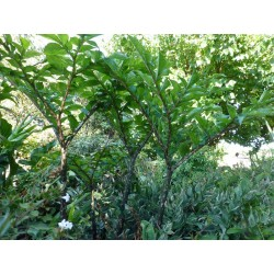 Amorphophallus konjac, Geophyten, Specials, Yuccashop -
