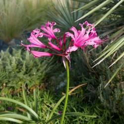 Nerine bowdenii 'Favourite', Geophyten, Yuccashop -