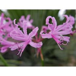 Nerine bowdenii, Geophyten im Yuccashop kaufen -