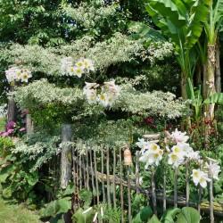 Lilium regale, Lilien im Yuccashop kaufen -