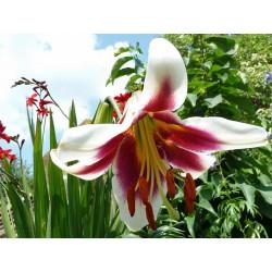 Lilium 'Friso', Lilien im Yuccashop kaufen -