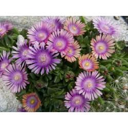 Delosperma ''Veilchenhonig'', Mittagsblumen vom Yuccashop -