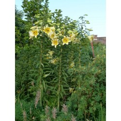 Lilium 'Conca d'Or', Lilien im Yuccashop kaufen -