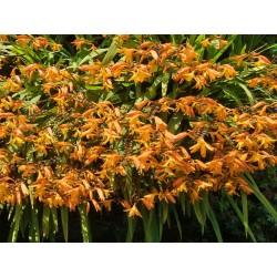 Crocosmia 'Fireglow', Montbretie im Yuccashop kaufen -