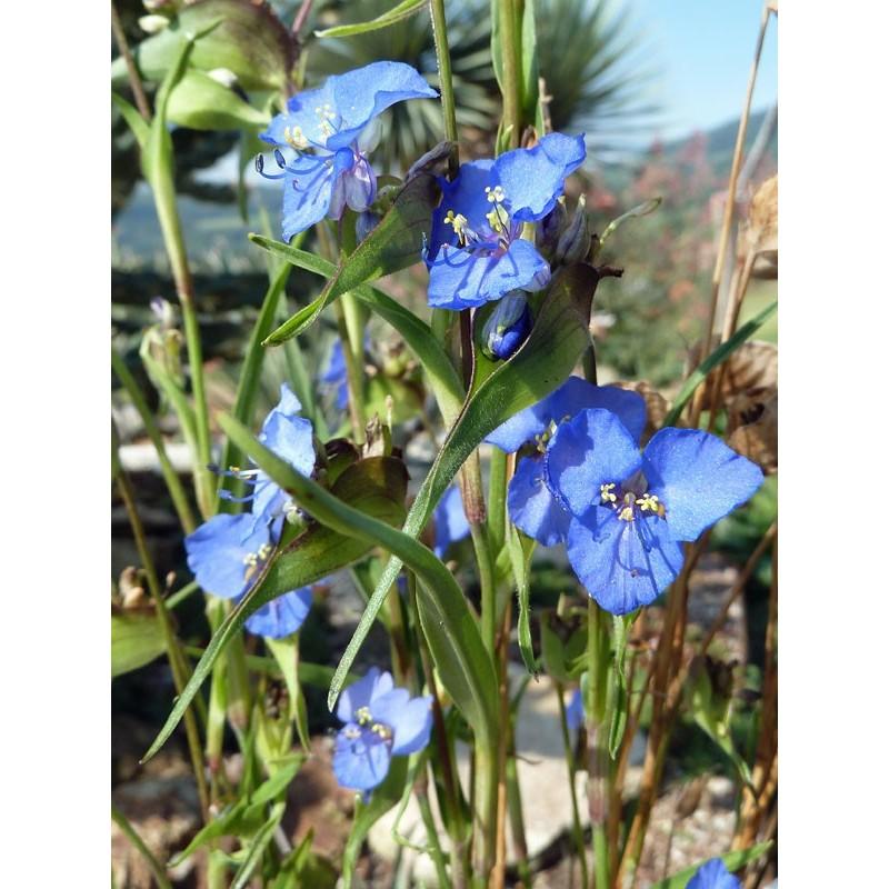 Commelina dianthifolia, Vogelschnabel-Tagblume vom Yuccashop -