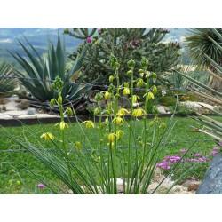 Albuca shawii, winterharte Laternenblume vom Yuccashop -