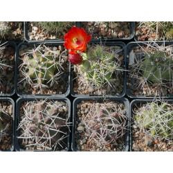 Echinocereus triglochidiatus, Kakteen im Yuccashop kaufen -