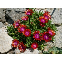 Delosperma ''The Flash'' Delosperma winterhart kaufen Yuccashop Pflanze
