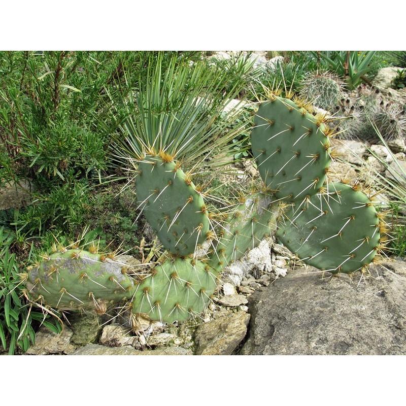 Opuntia spec. [Silverbell Mtns.], Kakteen im Yuccashop kaufen -