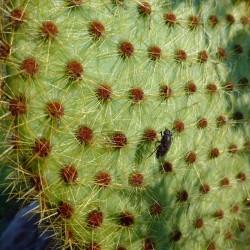 Opuntia scheeri, Kakteen im Yuccashop kaufen -