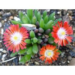 Delosperma 'Swiss', Zwergige Mittagsblume, im Yuccashop -