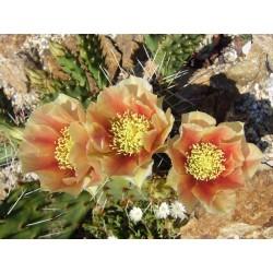 Opuntia pottsii DJF 1447, Kakteen im Yuccashop kaufen -