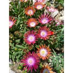 Delosperma 'Sunrise', Mittagsblume, im Yuccashop kaufen -