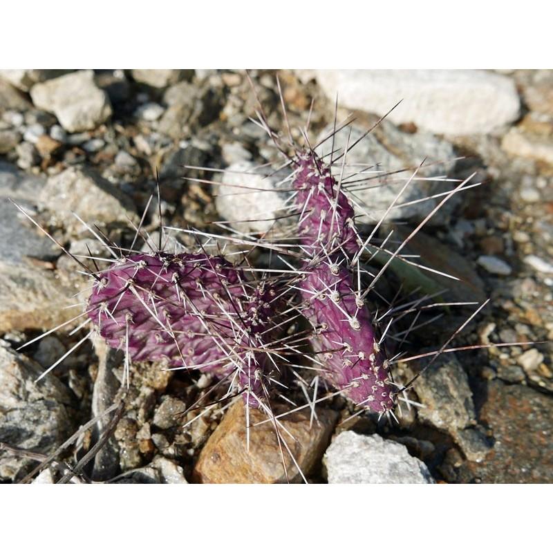 Opuntia polyacantha 'Dark Knight', Kakteen im Yuccashop kaufen -