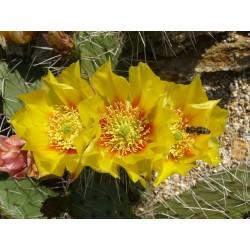 Opuntia phaeacantha f. longispina, Kakteen im Yuccashop kaufen -