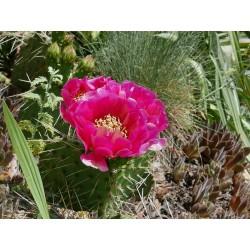 Opuntia macrorhriza 'Rot', Kakteen im Yuccashop kaufen -