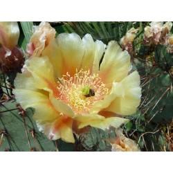 Opuntia macrocentra var. nevadensis, Kakteen vom Yuccashop -