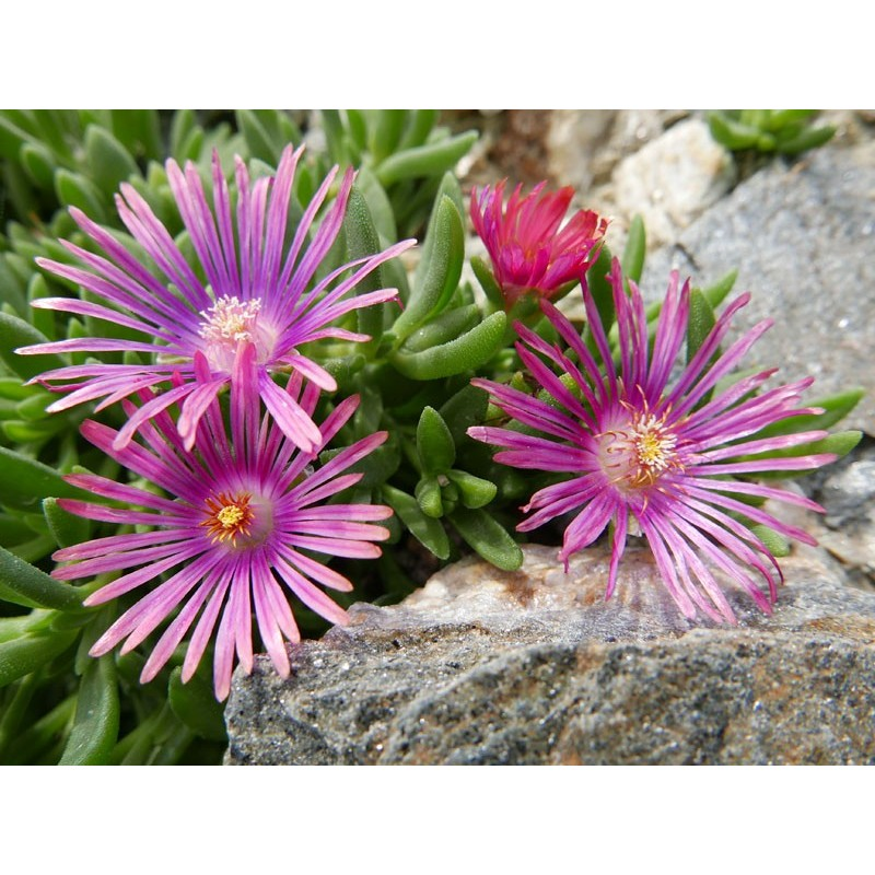 Delosperma ''Stars and Stripes'', Mittagsblumen vom Yuccashop -