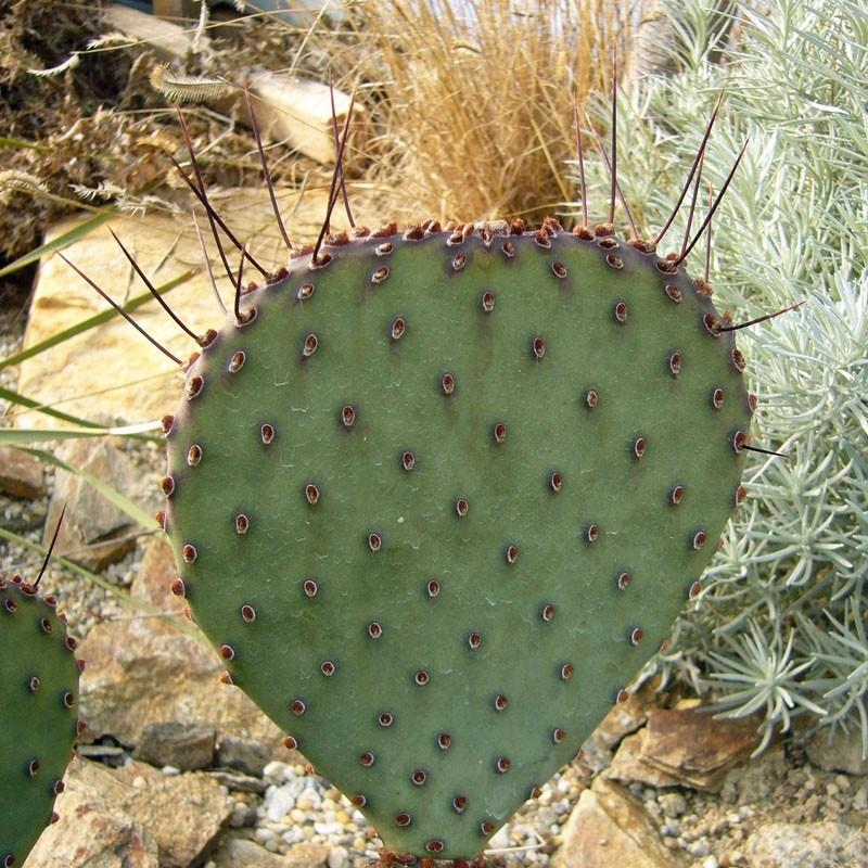 Opuntia macrocentra SB 911, Kakteen im Yuccashop kaufen -