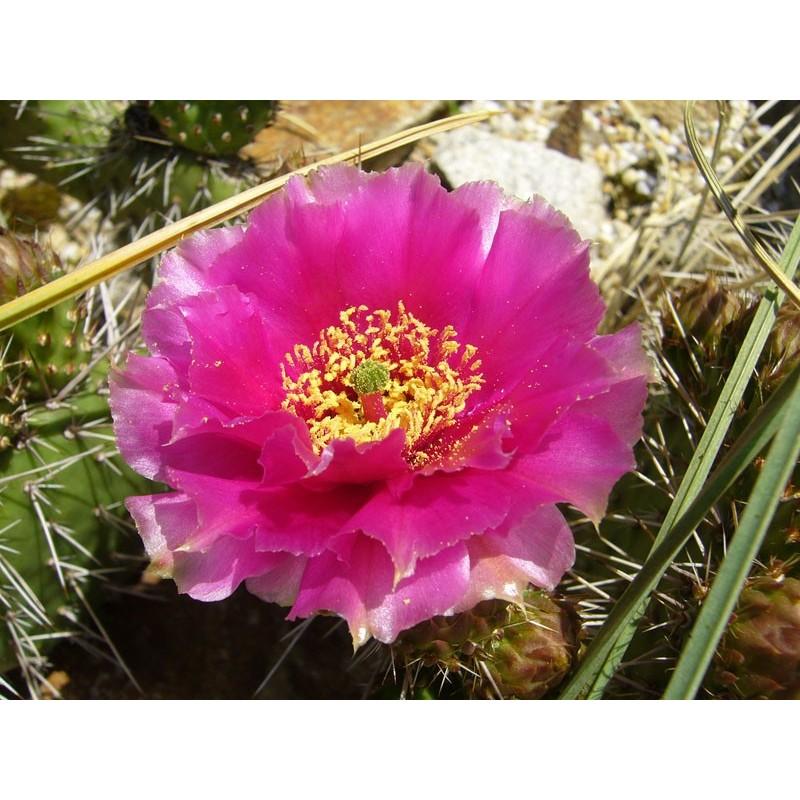 Opuntia hystricina Hybride 'Heide', Kakteen vom Yuccashop -