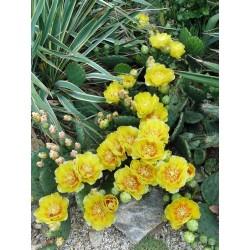 Opuntia Hybride ''Weiz'', Kakteen im Yuccashop kaufen -