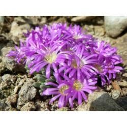 Delosperma spalmanthoides, Mittagsblume, im Yuccashop -
