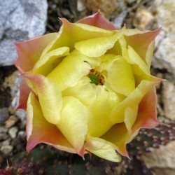 Opuntia fragilis Hybr. 'Freiburg', Kakteen im Yuccashop kaufen -
