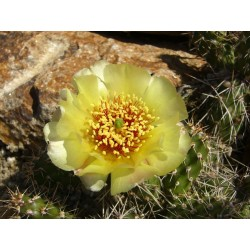 Opuntia fragilis Hybr. 'Feldberg', Kakteen im Yuccashop kaufen -