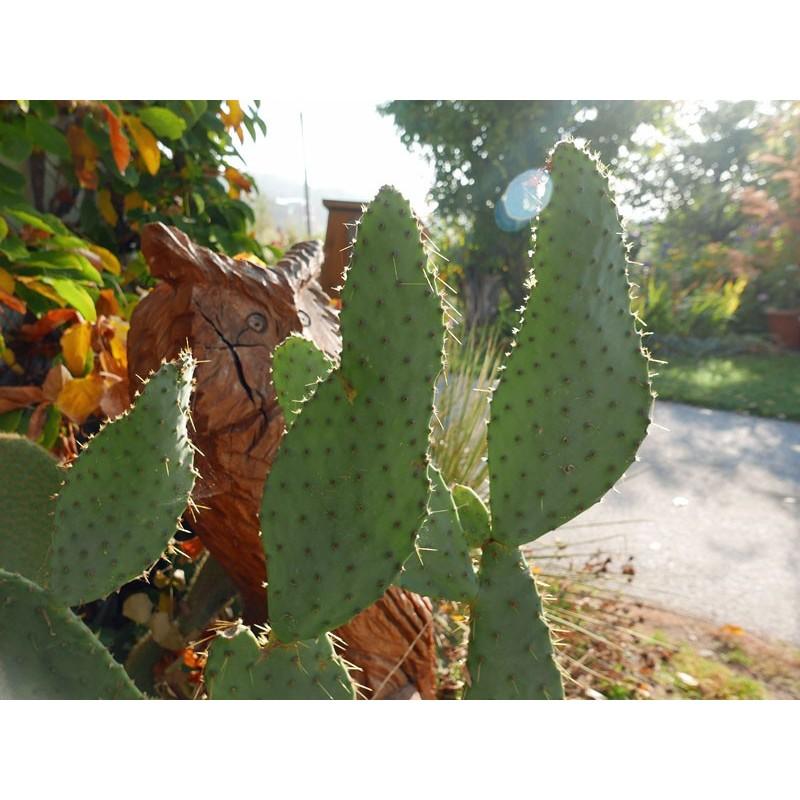 Opuntia engelmannii var. linguiformis, Kakteen vom Yuccashop -