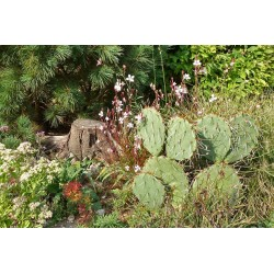 Opuntia engelmannii ''Knieling Nr.2'', Kakteen vom Yuccashop -