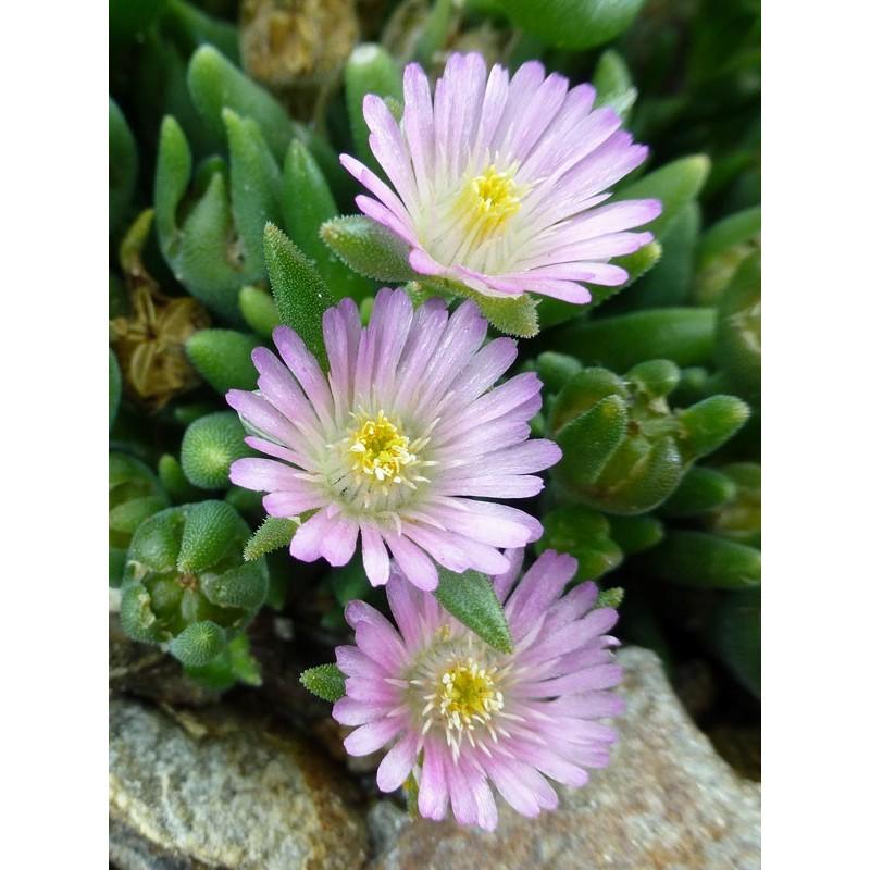 Delosperma 'Rosequartz', Zwergige Mittagsblumen vom Yuccashop -