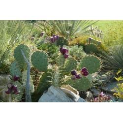 Opuntia engelmannii ''Knieling Nr.1'', Kakteen vom Yuccashop -