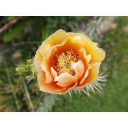 Opuntia engelmannii ''Italien Nr.1'', Kakteen vom Yuccashop -