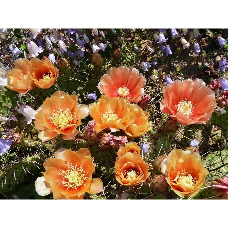 Opuntia cymochila 'Apricot', Kakteen im Yuccashop kaufen -
