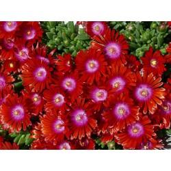 Delosperma 'Red Fire', Mittagsblume, im Yuccashop kaufen -